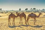 Desert landscape with camel - 175869546