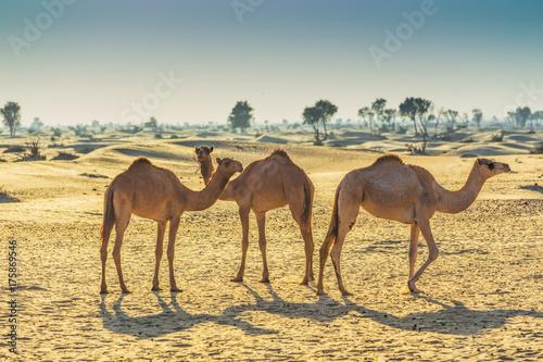 Fotobehang Kameel Desert landscape with camel