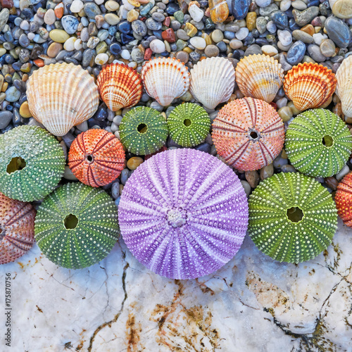 colorful sea urchins and shells on white rock and pebles beach Poster