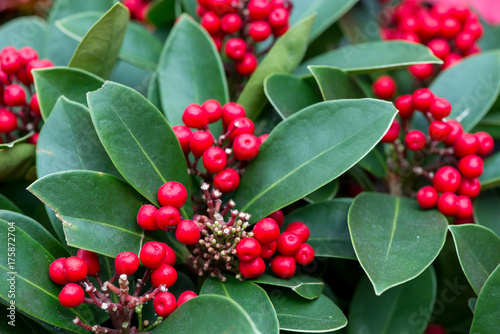Close-up macro detail of multiple clusters of Red Dahoon Holly (Ilex cassine) fruits and leaves during Christmas Poster