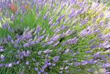 Lavendelblüte in Spanien - 175879995