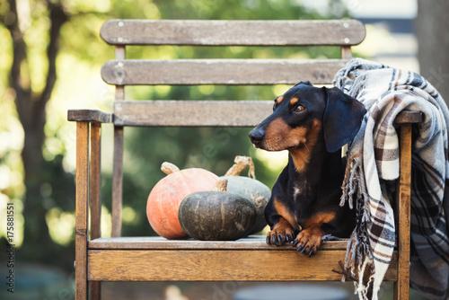 Dachshund, pure bred miniature dog siting on a chair, pumpkins, autumn or fall blanket, selective focus