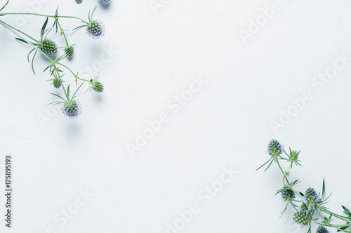Eryngium pattern on white background. Top view - 175895193