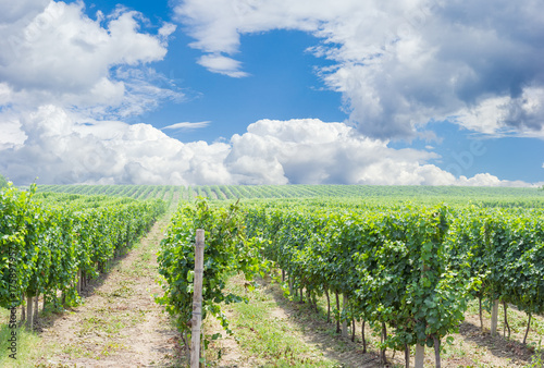Deurstickers Wijngaard Vineyard against of the sky with clouds