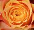 Orange rose as natural background. Macro shot with shallow depth of field.