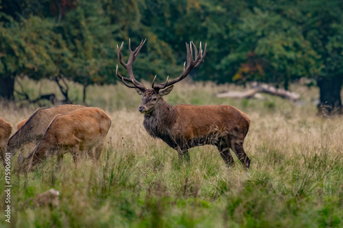 Aluminium Hert Red Deer Stags (Cervus elaphus)