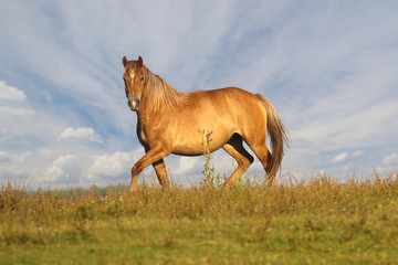 Wild Sorrel mare on meadow over cloudy sky