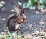 Red squirrel sits on ground and gnaws walnuts - 175915724