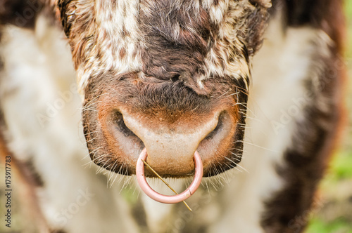 Ring through the nose of a Simmental Bull
