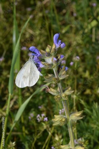 Fotobehang Iris butterfly on flower farfalla su fiore