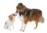 young shetland dog and chihuahua - 175922323