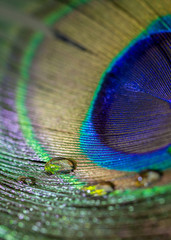 Colorful peacock feather eye close up view
