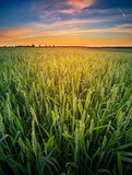 Wheat germ in the sunset. - 175941504