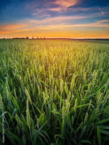 Fotobehang Zomer Wheat germ in the sunset.