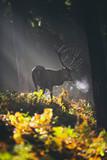 Red deer stag (cervus elaphus) between ferns in misty autumn forest. - 175947999