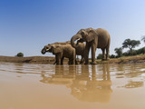 African Elephants drink at river - 175948125