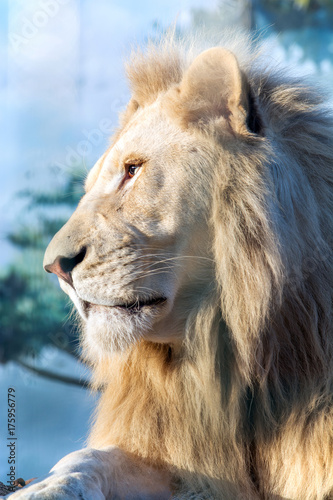 Aluminium Lion White lion. A thoughtful look into the distance. Animal Predator in the wild. Blurred background and sun glare on the photo.
