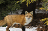 Red fox in winter - 175967319