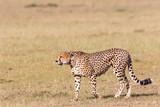 Cheetah - 175972545