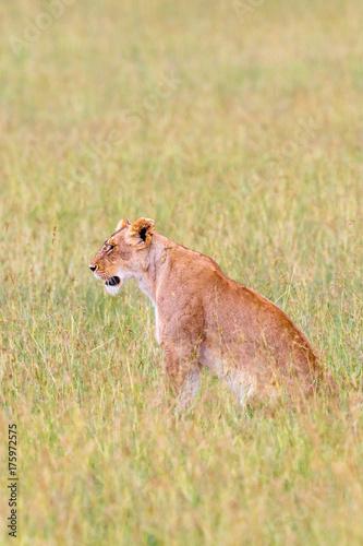 Aluminium Lion Lion sitting on the grass of the savannah