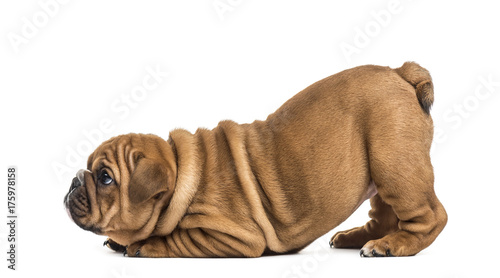 Bulldog puppy, isolated on white