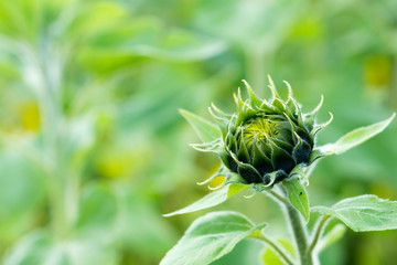 Frische Sonnenblume