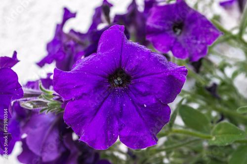 Purple flower from Violet flower family Poster