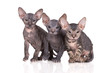 three adorable sphynx kittens posing together on white