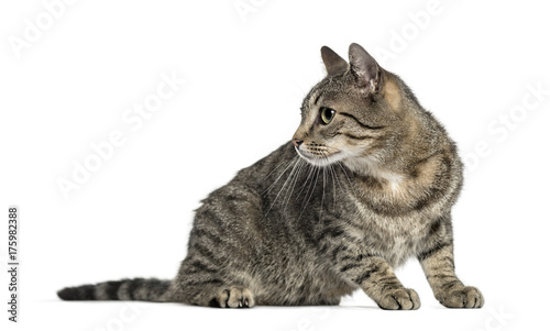 Aluminium Kat Attentive european cat, isolated on white