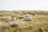 Schaf und Lämmer grasen auf Sylt Düne - 175984531