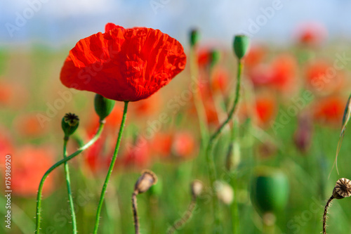 Fotobehang Klaprozen green and red beautiful poppy flower field background