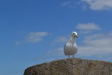 Cute seagull enjoying the breeze while perching on the wall of the old fort in Sain-Malo, Brittany, France - 175987519