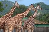 Drei Giraffen unterwegs - 175995548