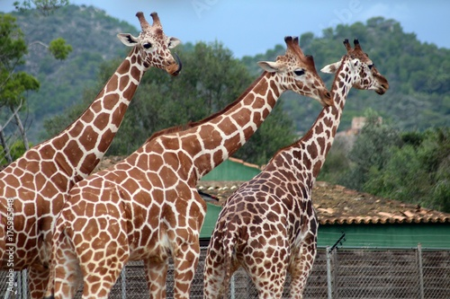 Drei Giraffen unterwegs Poster