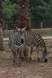 Zebras unter Palmen - 175995747