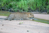 Leopard drinks water in its natural environment. Leopard is a very fast animal, Kruger National Park, South Africa. - 175999133