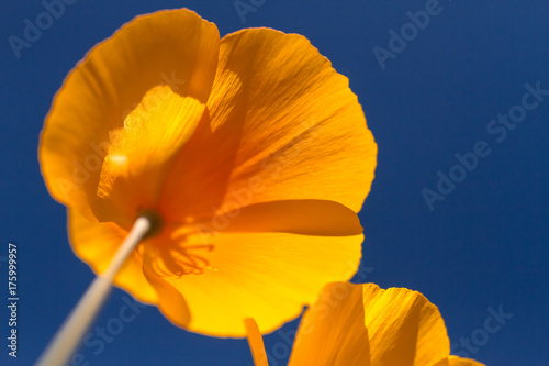 Foto op Canvas Arizona Mexican Yellow Poppies