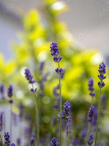 Fotobehang Lavendel Lavendelblüten