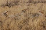 Jeunes guépards en Namibie - 176008948