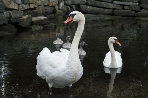 Fotobehang Closeup of swan family