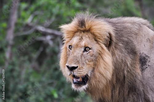 Aluminium Lion lion