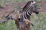 zebra and red bill oxpecker - 176014778