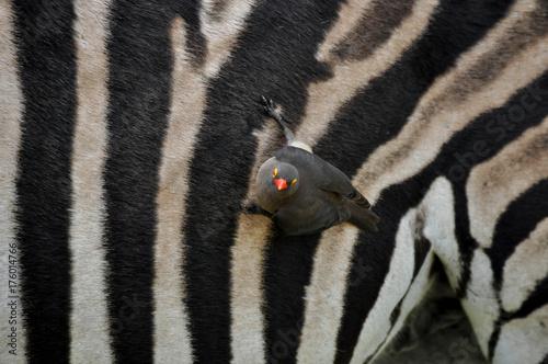 zebra and red bill oxpecker