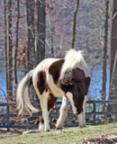 Graceful Pinto Pony  - 176020549