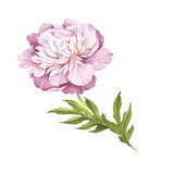 Image of Peony flower. Hand draw watercolor illustration. - 176025772