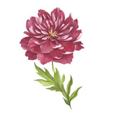 Image of Peony flower. Hand draw watercolor illustration. - 176025783