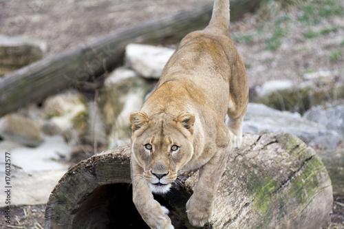 Aluminium Lion Pouncing Lionesss