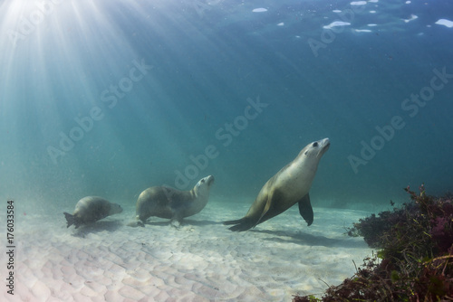 Fototapeta Australian sea lion underwater view, Neptune Islands, South Australia.