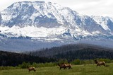 A herd of elk with a mountain back ground!  - 176036743