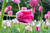Nahaufnahme von Regentropfen auf wunderschöner Pinken Tulpe